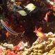 Scalefin Anthias