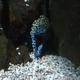 Black Spotted Moray
