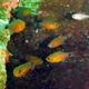 Orange-lined Cardinalfish