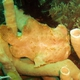 Giant Frogfish (Juvenile)