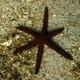 Luzon Sea Star