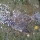 Spiny Flounder
