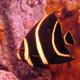 Gray Angelfish (Juvenile)