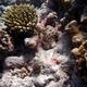 Finger Coral