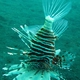Russell's Lionfish