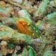 Large-spotted Snake Eel