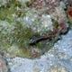 Blackstripe Cardinalfish