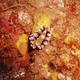 Ocellata Nudibranch