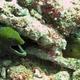 Undulated Moray Eel