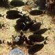 Orange-socket Surgeonfish