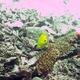 Threespot Angelfish