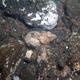 Bandtail Scorpionfish (Juvenile)