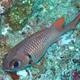 Violet Soldierfish