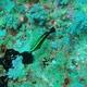 Roundhead Parrotfish (juvenile)