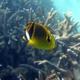 Raccoon Butterflyfish