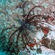 Common Lionfish (Juvenile)