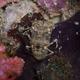 Darkspot Locust Lobster
