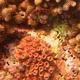 Verrucose Pocillopora Coral