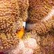 Merten's Carpet Anemone