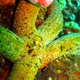 Velvety Sea Star