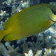 Coral Rabbitfish