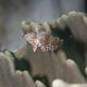 Whitebanded Pygmy Wrasse (Juvenile)