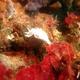Pallid Nudibranch