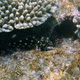 Marbled Hawkfish