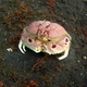 Spectacled Box Crab