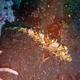 Strapweed Filefish