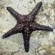 Honeycomb Sea Star