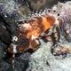 Twinspot Lionfish