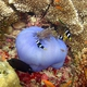 Magnificent Sea Anemone