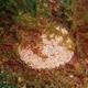 Flower Urchin