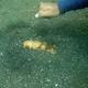 Marmorate Sea Cucumber