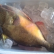 Orangeside Triggerfish