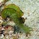 Ornate Sapsucking Slug
