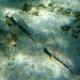Long-finned Goby