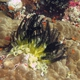Noble Feather Star
