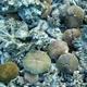 Common Mushroom Coral