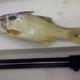 Smallmouth Threadfin