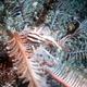Elegant Squat Lobster