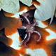 Dark Red-spined Brittle Star