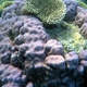 Murrayensis Coral