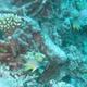Obicular Damselfish