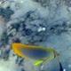 Golden-striped Butterflyfish