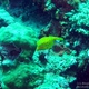 Yellow Boxfish (Juvenile)