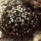 Schmedelian Pincushion Sea Star