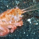 Twin Horn Helmet Crab