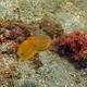 Golden Cuttlefish